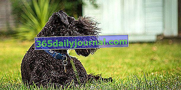 Kerry Blue Terrier, куче с мускулесто и добре пропорционално тяло