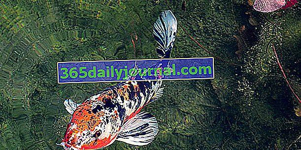 Koi šaran za vrtni ribnjak: kako se brinuti o njemu?