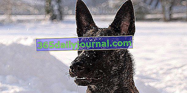 El pastor holandés, perro vivaz, valiente e inteligente