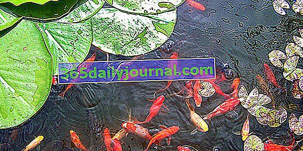 Goldfish para estanque de jardín