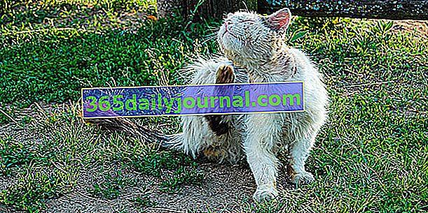 Alopecia areata en gatos: síntomas, tratamiento y prevención