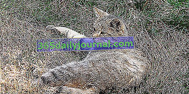 ¿Quién es el gato zorro corso? ¿Es esta una nueva raza de gatos?