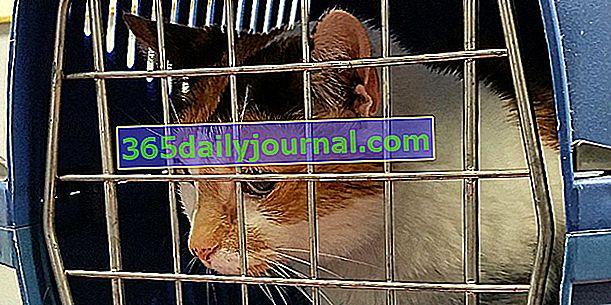 Kedilerde yaygın bir kanser olan kedi lenfoma: semptomlar, tedavi