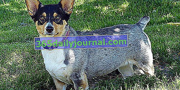 Уелският корги пемброк, известното куче на кралицата на Англия