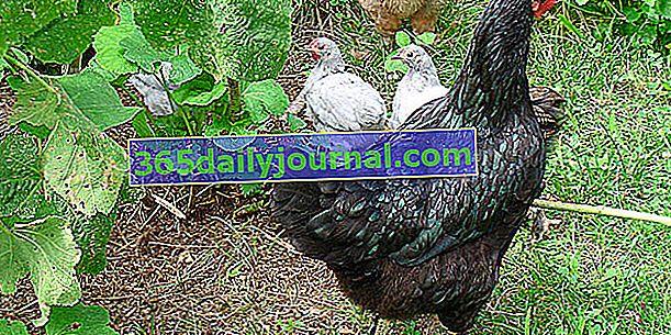 5 породи кокошки носачки, подходящи за семейно развъждане