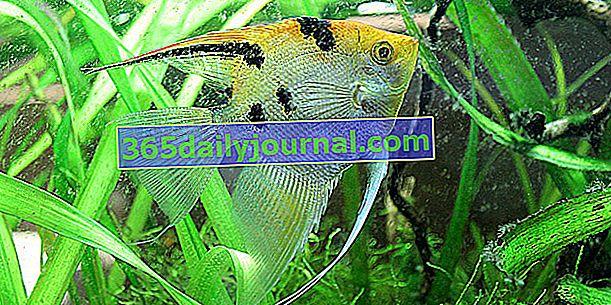 Скалар (Pterophyllum scalare) в аквариум, нашият съвет