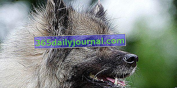 El Wolf Spitz o Keeshond, perro vivaz y travieso