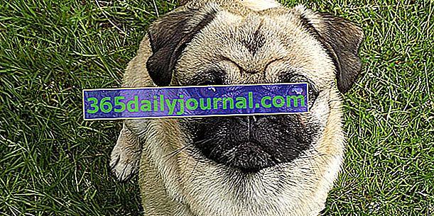 Mops ili Mops, dirljivi mali pas