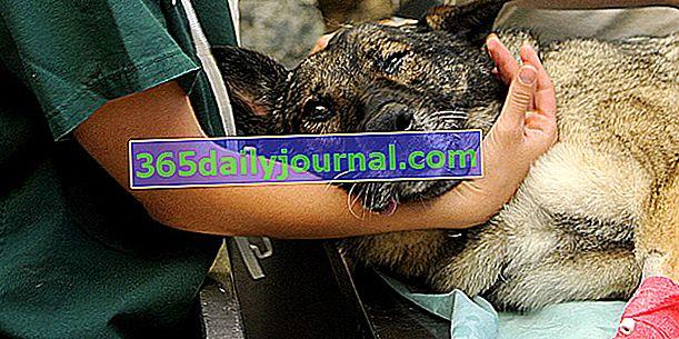 Hitna veterinarska pomoć: kada i kako pronaći veterinara po pozivu?