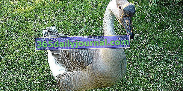 El ganso de Guinea, gracioso y grande ganso