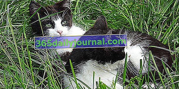 Jak rozpoznać kocura od kotki?