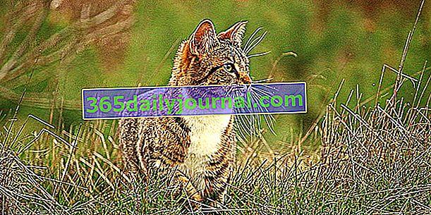 Identyfikacja kota: chip czy tatuaż? Czy to jest obowiązkowe?