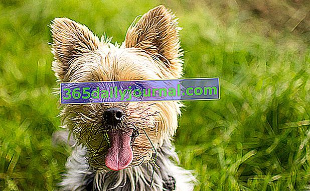 //jardinage.lemonde.fr/dossier-1389-yorkshire-terrier.html