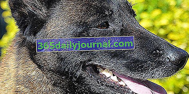 Belgický ovčák Malinois: výjimečný pes!