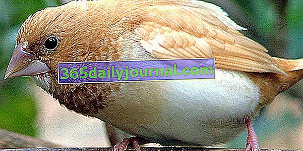 Японското врабче: кой е това? Как да отгледате тази птица у дома?