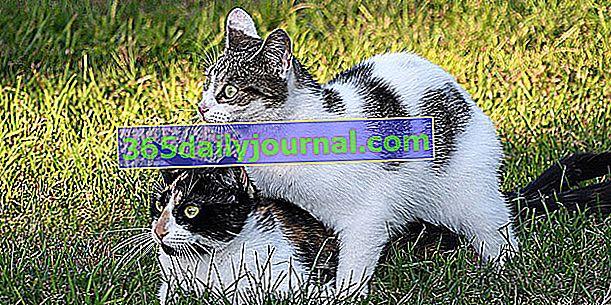 Сезонът на чифтосване за котки: разберете всичко