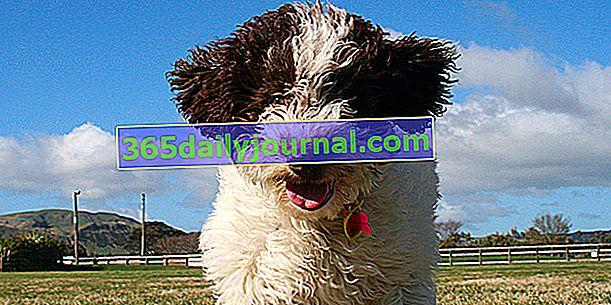 El perro de agua Romagnolo (Lagotto Romagnolo), perro con pelo rizado denso