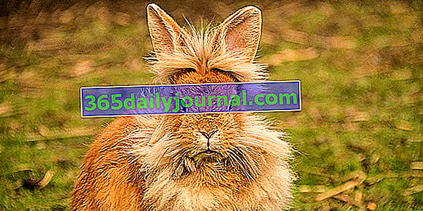 El conejo enano cabeza de león, la mascota perfecta