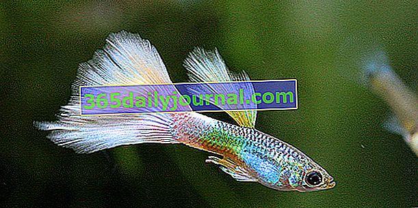 Guppy (Poecilia reticulata) en acuario, nuestro consejo