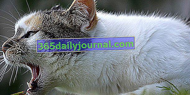 Gastritis en gatos: síntomas, tratamiento y prevención