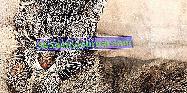 Bolas de pelo en gatos: descripción, peligro, soluciones