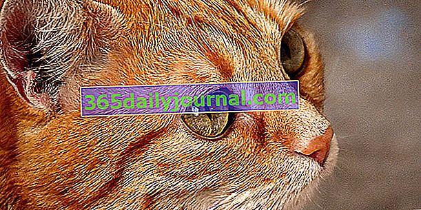 Gato rojo: mil una anécdotas