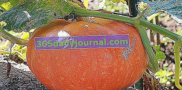 Тиква (Cucurbita maxima) или тиква за Хелоуин