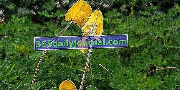 Фъстъци (Arachis hypogaea) или фъстъци