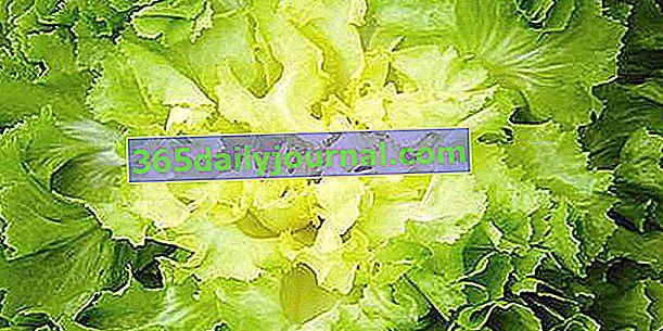 Hindiba hindiba (Cichorium endivia 'latifolia'), gevrek salata
