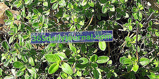 Limonin timijan (Thymus × citriodorus), z limoninim vonjem