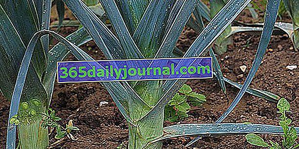 Poriluk (Allium porrum), diuretičko povrće i bogato vlaknima