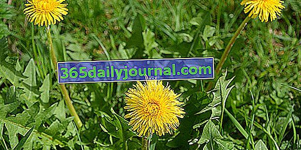 Maslačak (Taraxacum officinale), drugačija salata