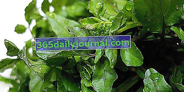Su teresi (Nasturtium officinale) veya su teresi