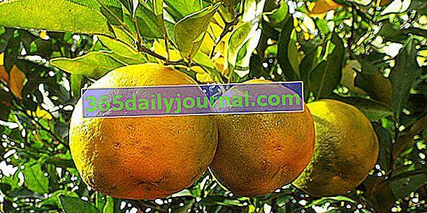 Drzewo bergamotki (Citrus bergamia), olejek eteryczny o silnym zapachu
