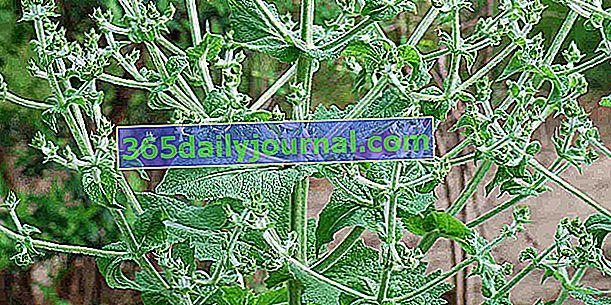 Semilla de chía (Salvia hispanica), rica en Omega-3