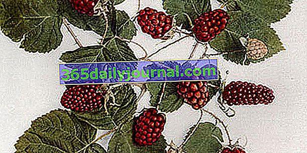 Robidnica (Rubus × loganobaccus) ali robidno-malina