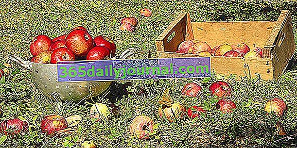 Ябълката: събиране, съхранение и използване на ябълки