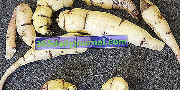 Bulwiasta nasturcja (Tropaeolum tuberosum), pyszna bulwa