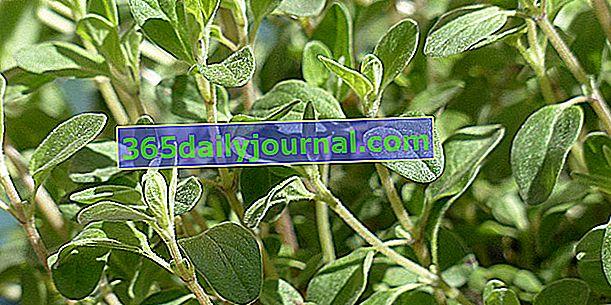 Majoránka (Origanum majorana) nebo velké oregano