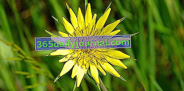 Salsifí de pradera: recolección, virtudes y cocción de salsifí de pradera