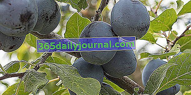 Слива (Prunus domestica), Reine-Claude, Quetsche, Mirabelle ...