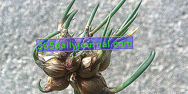 Лук рокамболе (Allium cepa var. Proliferatum), вечный лук
