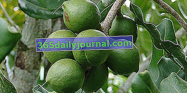 Ядка макадамия (Macadamia integrifolia), най-дебелата ядка