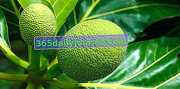 Fruta del pan (Artocarpus altilis) o rimier