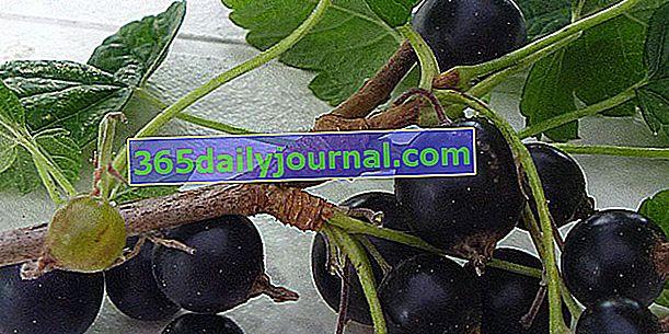 Caseille (Ribes x nidigrolaria), skrzyżowanie czarnej i czerwonej porzeczki