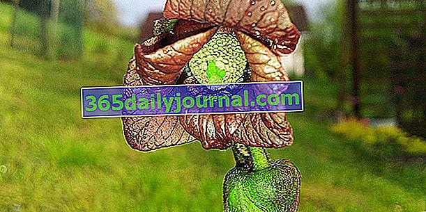 Asiminier (Asimina triloba), árbol frutal no reconocido