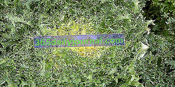 Cykoria kędzierzawa (Cichorium endivia 'crispa'), o mocno ściętych liściach