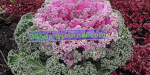 Kapusta ozdobna (Brassica oleracea var. Acephala), ozdobne liście zimowe
