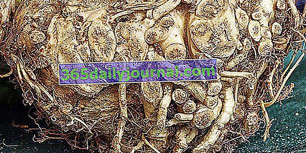 Raíz de apio (Apium graveolens var. Rapaceum), verdura de sabor fuerte