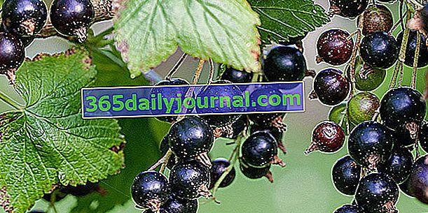 Grosella negra (Ribes nigrum), para deliciosas mermeladas